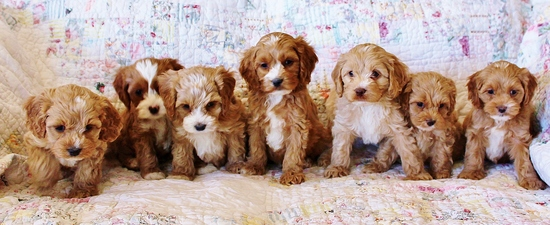 Cockapoo Puppies Beachwood Canyon Cockapoos Los Angeles California